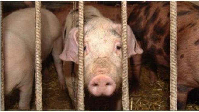 Varios cerdos en una granja.