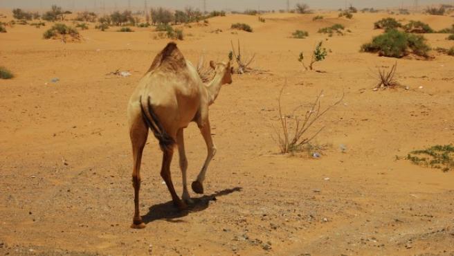 Imagen de un camello.