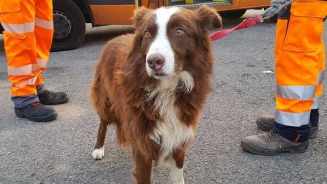 'Piqué', un perro pastor de ovejas, en la imagen difundida por la Guardia Municipal.
