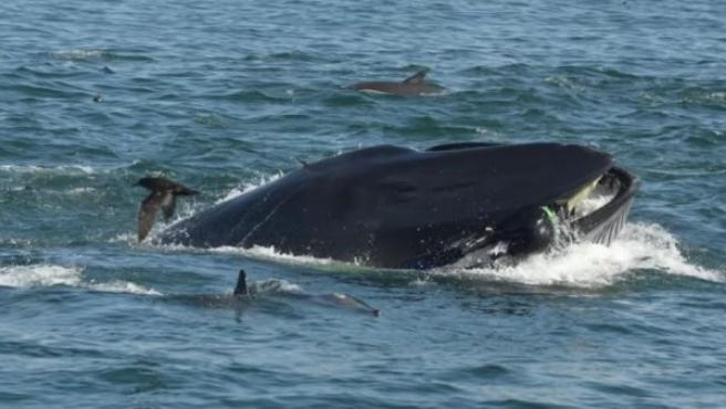 Imagen de Rainer Schimpf atrapado por la ballena.