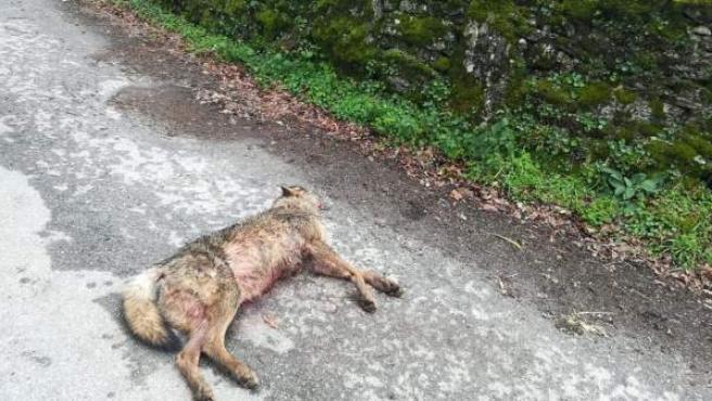 Imagen del lobo hallado muerto por un disparo en Monterroso, Lugo.