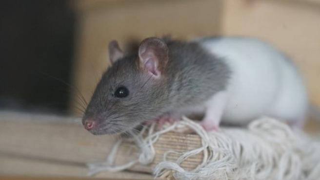 Una pequeña rata.