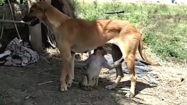 La perra 'Ruby ' amamanta al pequeño mono que cuida desde hace algo más de un mes.