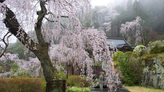 Cerezos en flor en el monte Minobu, en la prefectura de Yamanashi (Japón). La montaña sagrada es la sede de la secta budista Nichiren y es famosa por sus cerezos. En Japón, la floración de los cerezos tiene como significado cultural el simbolismo de lo efímera que es la vida, lo que se asocia con el budismo.