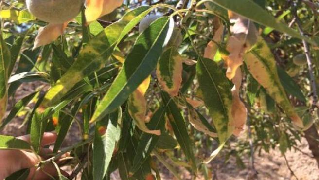 Investigadores evidencian que la Península está muy expuesta a la bacteria que afecta al olivo, vid y almendro