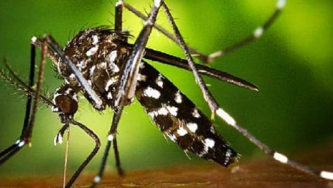 Ejemplar de mosquito tigre.