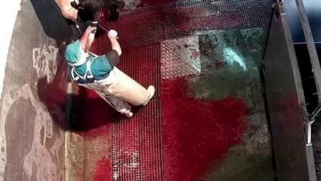 Imagen difundida por la ONG en su web, en la que puede verse a un trabajador degollando a una vaca con vida.