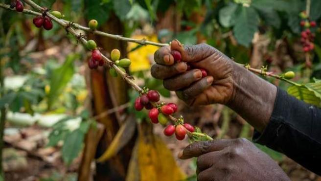 Una trabajadora recoge café en República Dominicana.