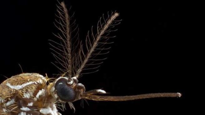 Mosquito hembra de la especie Aedes aegypti