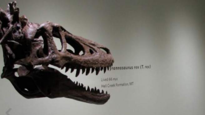 Tiranosaurio rex a la venta.