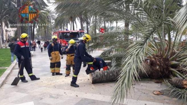 Sucesos.- Los Bomberos de Palma intervienen para trocear una palmera caída en el Passeig Sagrera