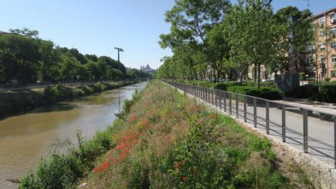 La renaturalización del Manzanares ha mejorado la calidad del agua y producido una explosión en la flora.