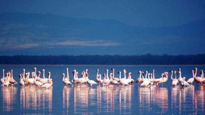 Algunos flamencos en el lago Nakuru, en Kenia