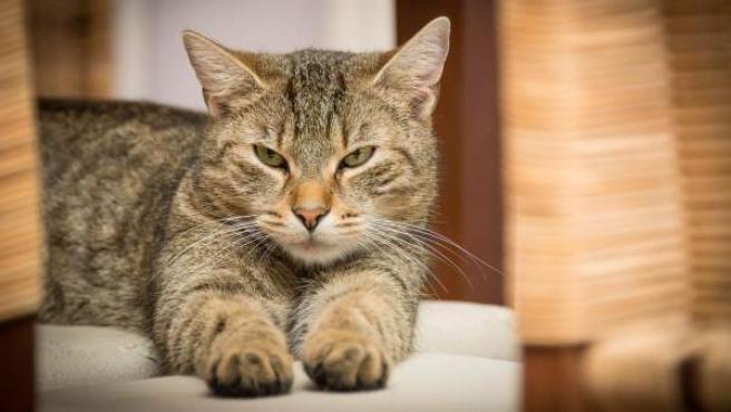Una fotografía de un gato doméstico de color gris atigrado.