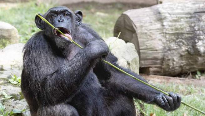 Un chimpancé en el Zoo de Barcelona.