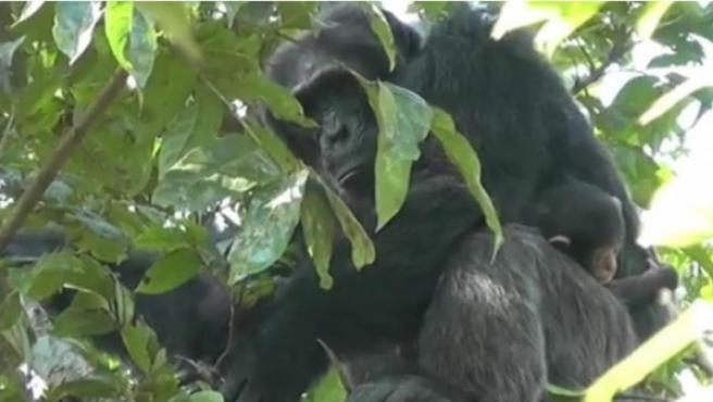 Sylvester, un chimpancé de Uganda, protege a su cría de 20 días.
