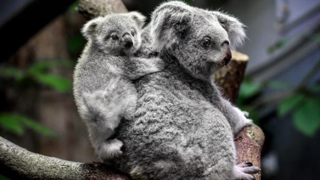 Un cachorro de koala hembra de ocho meses se sube a la espalda de su madre, Eora, en su recinto del zoo de Duisburgo (Alemania).