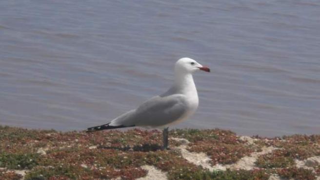 El Parque Regional de las Salinas de San Pedro alberga más de 1.200 parejas reproductoras de aves acuáticas