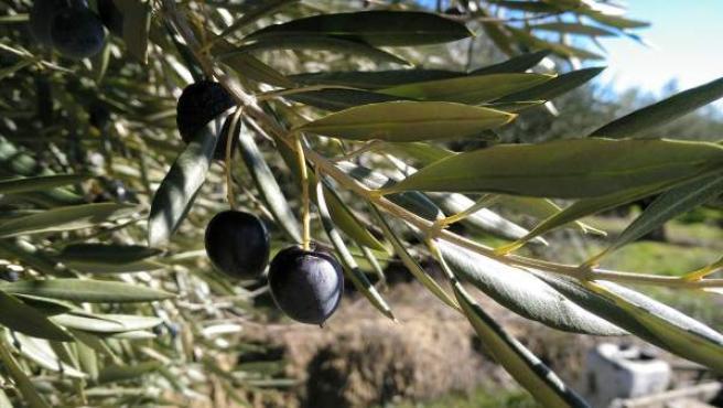 Aceituna, olivos, aceite.