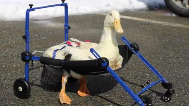 El pato Merlín, que nació con discapacidad al nacer y no puede andar por sí mismo.