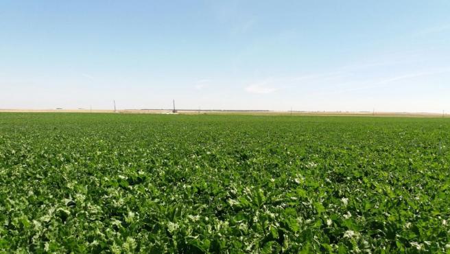 La Junta cifra entre 2.500 y 3.000 la reducción de la superficie de remolacha que se situará en unas 22.000