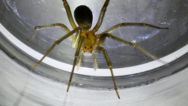 Araña violinista, en una imagen de Wikipedia.