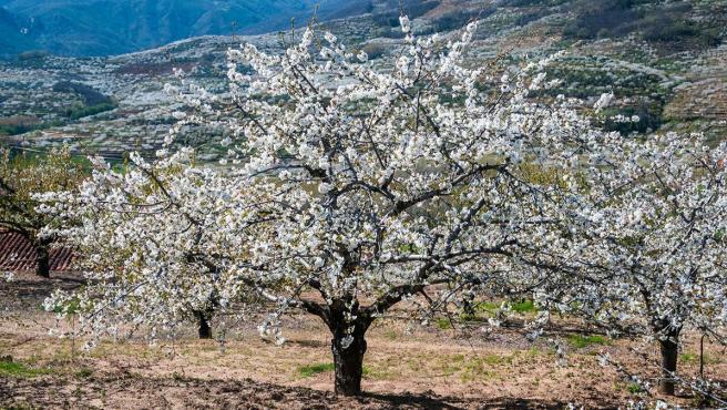 Comienza la floración de los cerezos en el Valle del Jerte
