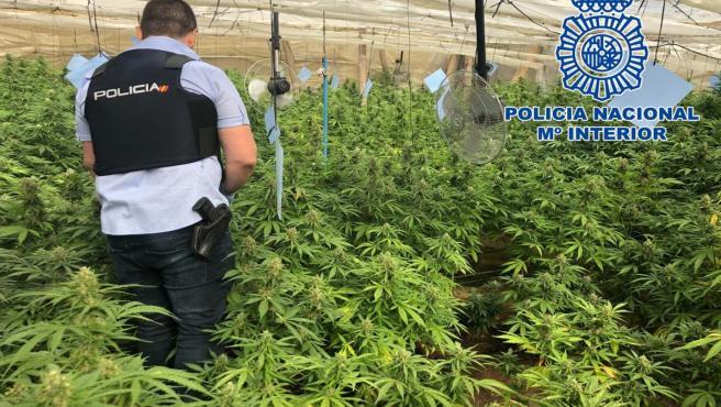 Almería.- Sucesos.- Un detenido tras desmantelar dos invernaderos en El Ejido con 650 plantas de marihuana