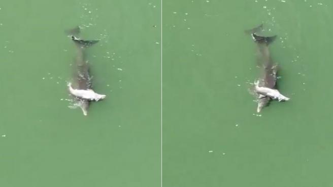 La mamá delfín empujando a su cría muerta.