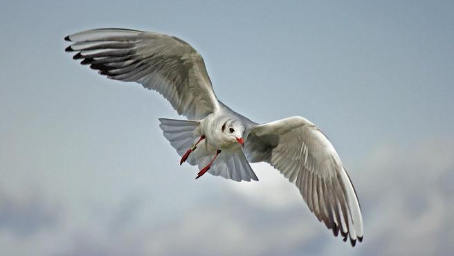 Una fotografía de una gaviota volando.