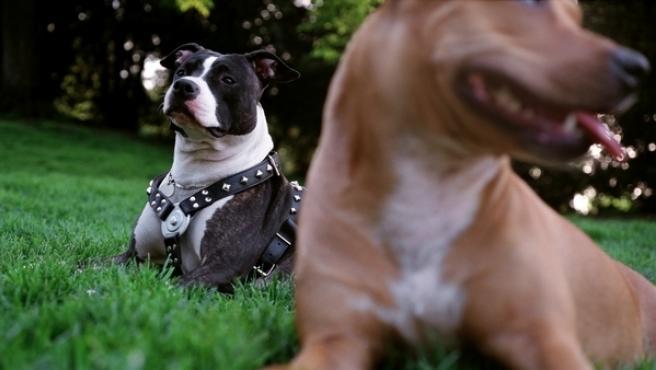 <p>Perros de raza pitbull.</p>