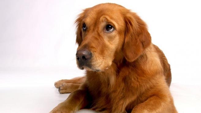 Un perro arqueando las cejas como si estuviera triste.