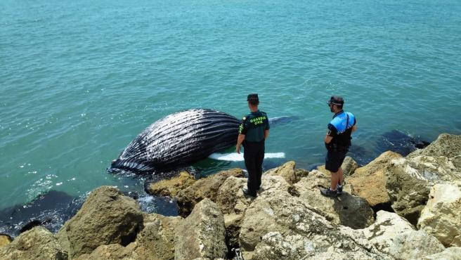Imagen de la cría de ballena hallada sin vida en Gandia,