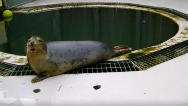 Imagen de una de las focas del estudio cantando una melodía.