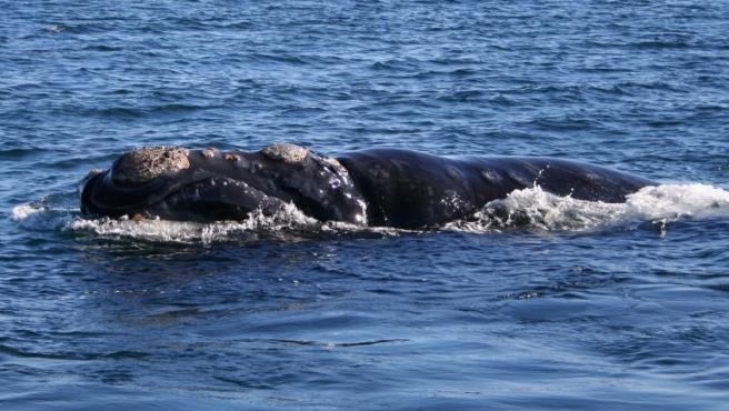 Imagen de una ballena franca en la Patagonia.