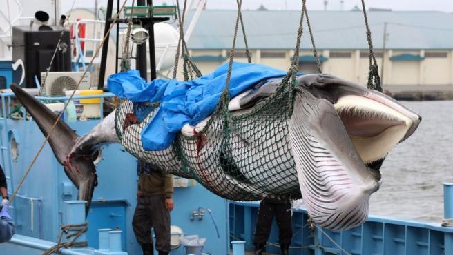 Una ballena Minke es descargada de un barco en el puerto de Kushiro en Japón. Las autoridades niponas anunciaron que desde este lunes y hasta fin de año sus barcos capturarán 227 cetáceos con fines comerciales.