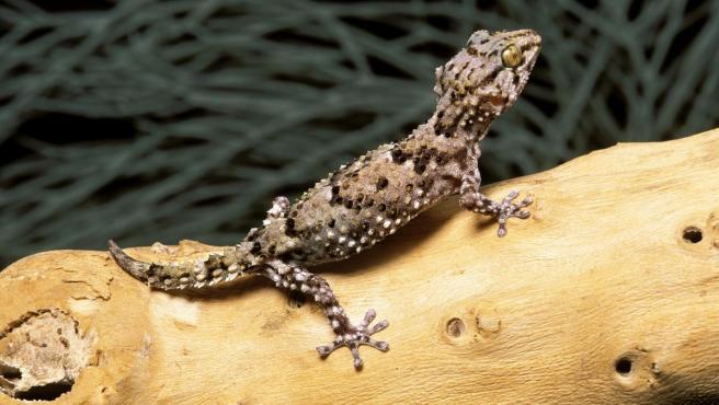 Un gecko reposa sobre un árbol.