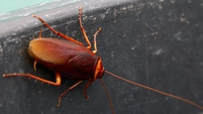 Imagen de una cucaracha.