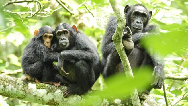 Un grupo de chimpancés en Uganda.