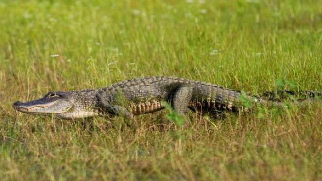 Un caimán en Florida.