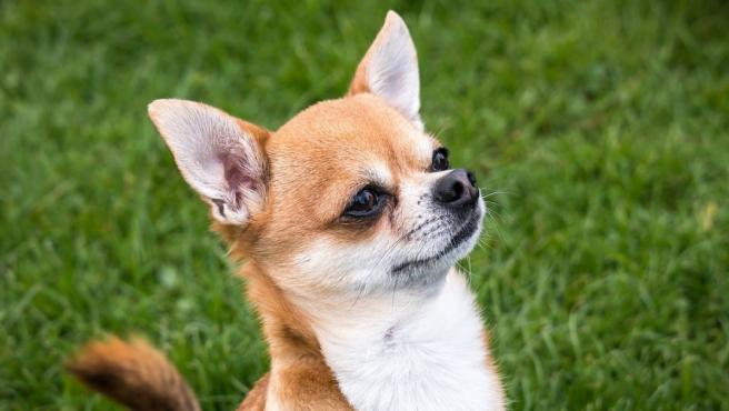 El chihuahua es una raza de perro originaria de México.