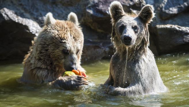 Un par de osos pardos disfrutan de un baño y un aperitivo de fruta helada para combatir el calor en sus instalaciones del Zoo de Servion (Suiza) .