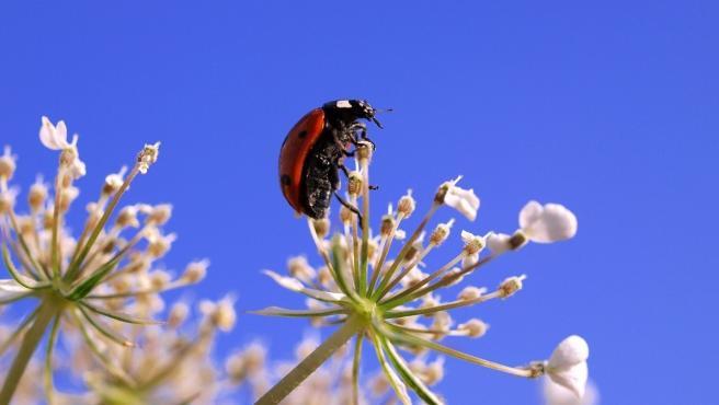 Las mariquitas ayudan a controlar las plagas de pulgones puesto que se alimcentan de ellos.