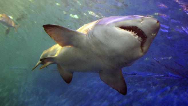 Un tiburón, en una imagen de archivo.