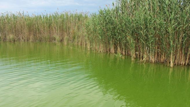 L'Albufera valenciana tiene este color verde por las cianobacterias que habitan en él.