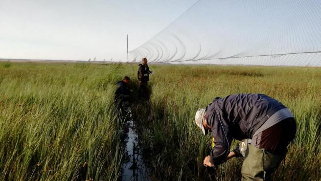 Voluntarios en el anillamiento de aves migratorias en lagunas palentinas en el marco del programa Life Paludicola de la Fundación Global Nature.