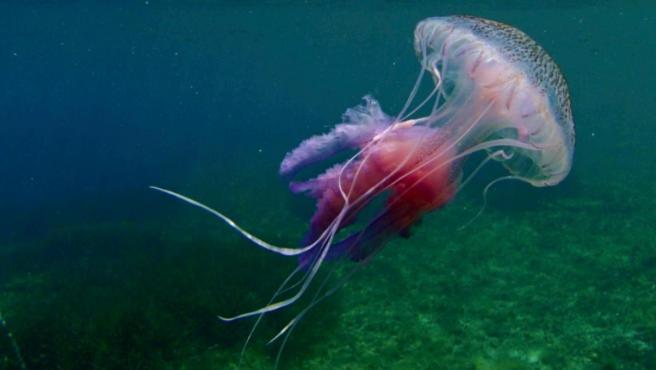Imagen recurso de una medusa.