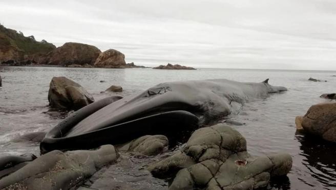 Fotografía cedida por la Coordinadora para el Estudio y la Protección de las Especies Marinas (Cepesma) de un ejemplar de Rorcual Común varado en Tapia de Casariego.