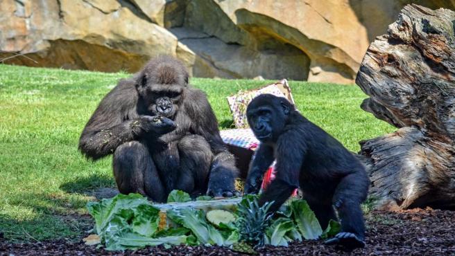 La gorila Virunga celebra su cumpleaños