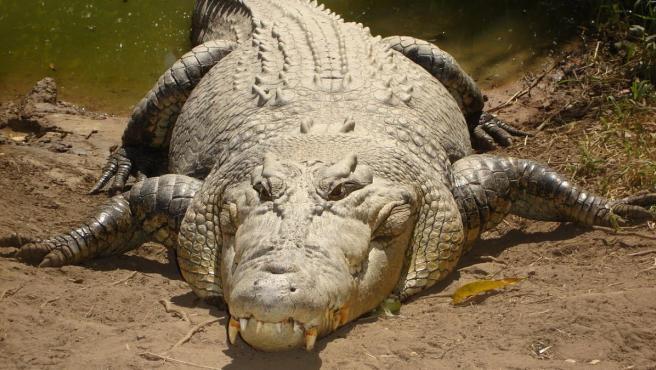 Imagen de un cocodrilo de agua salada.